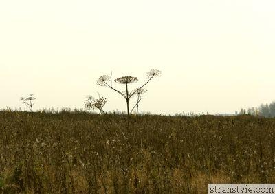 Огромный борщевик на поле